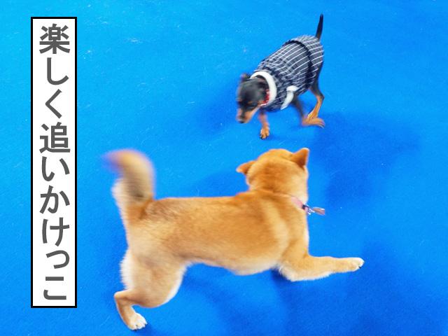 柴犬コマリ わんにゃんドーム ドッグラン