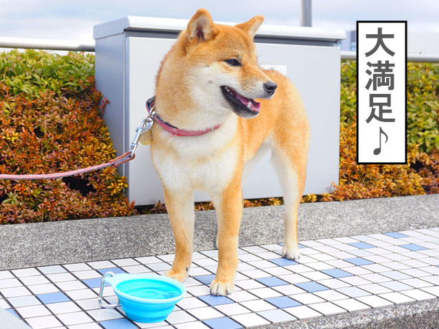 柴犬コマリ わんにゃんドーム