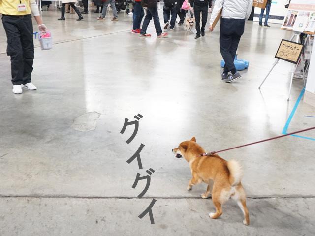 柴犬コマリ わんにゃんドーム2018
