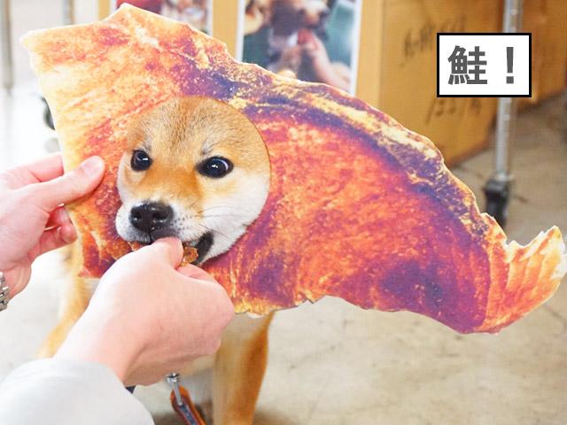 柴犬コマリ わんにゃんドーム みちのくファーム