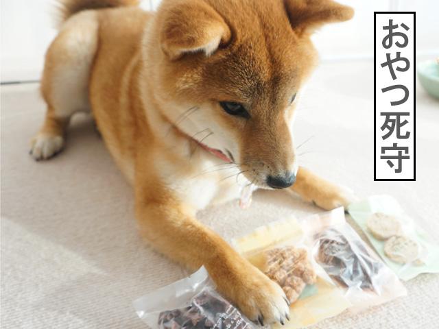 柴犬コマリ 犬用バレンタイン