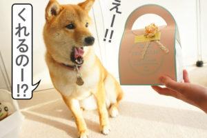 柴犬コマリ バレンタイン