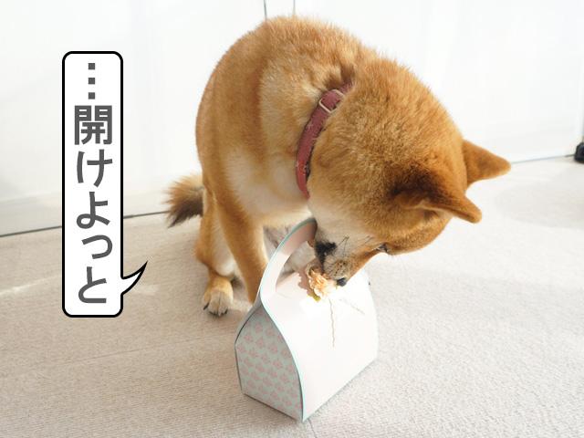 柴犬コマリ バレンタインデー