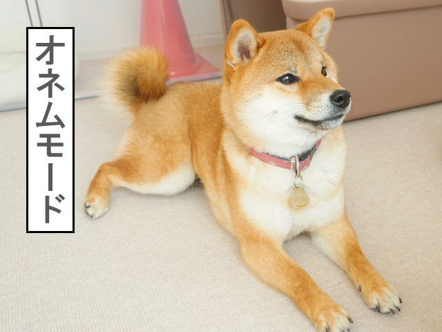 柴犬コマリ オネム