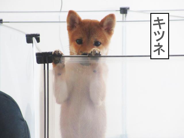 柴犬コマリ キツネ顔