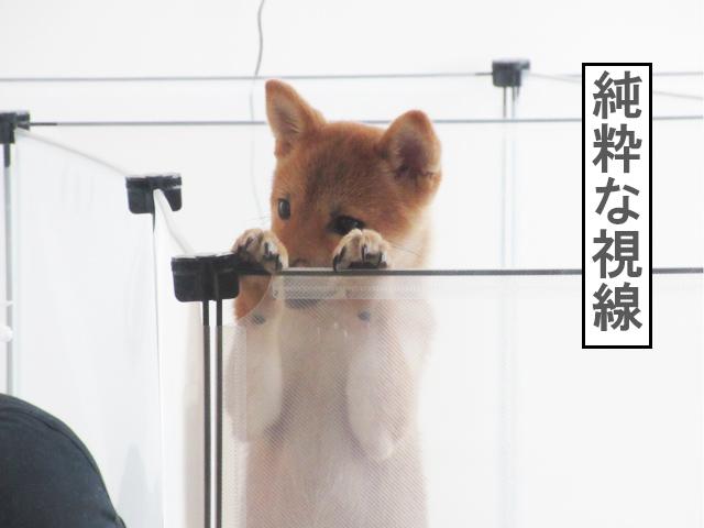 柴犬コマリ ビフォーアフター