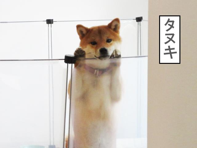 柴犬コマリ タヌキ顔
