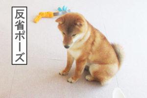 柴犬コマリ 反省