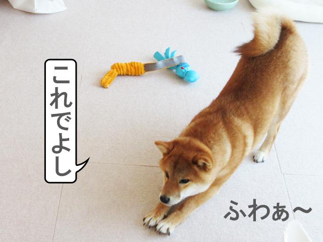 柴犬コマリ 伸び