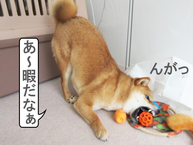 柴犬コマリ 一人遊び