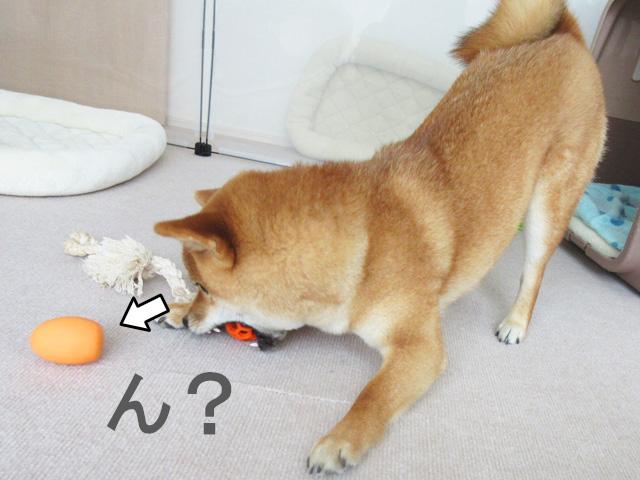 柴犬コマリ たまごちゃん