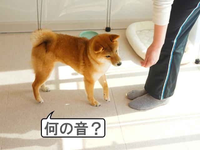 柴犬コマリ クリッカー
