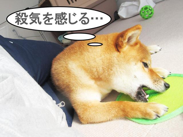 柴犬コマリ 殺気