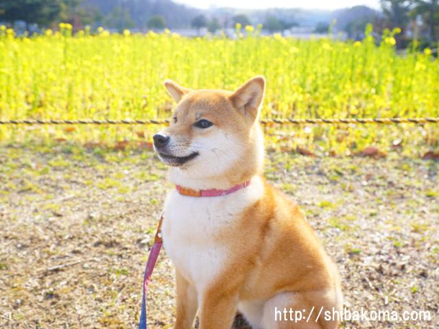 柴犬コマリ 菜の花