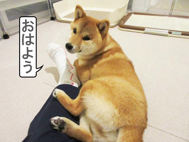 柴犬コマリ 寝起き