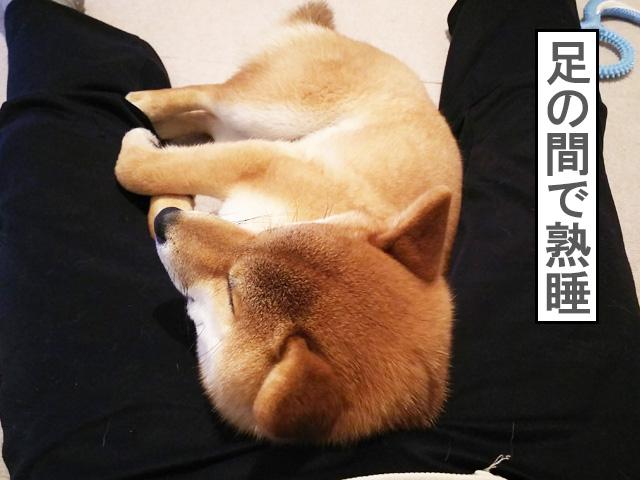柴犬コマリ 反抗期終了