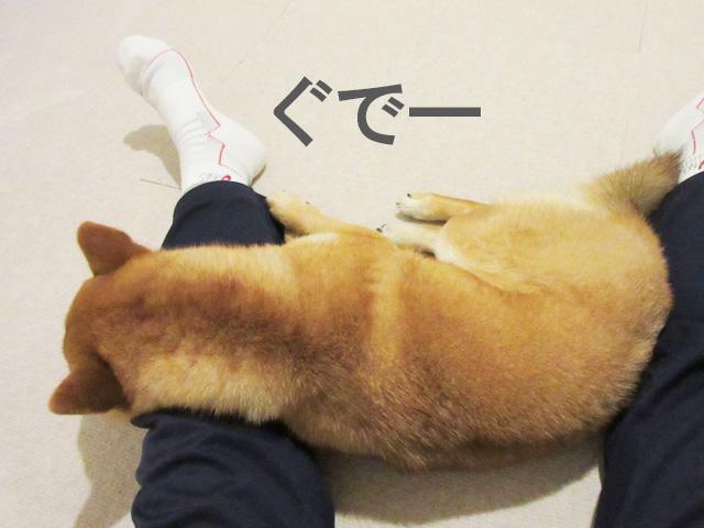 柴犬コマリ ぐで犬