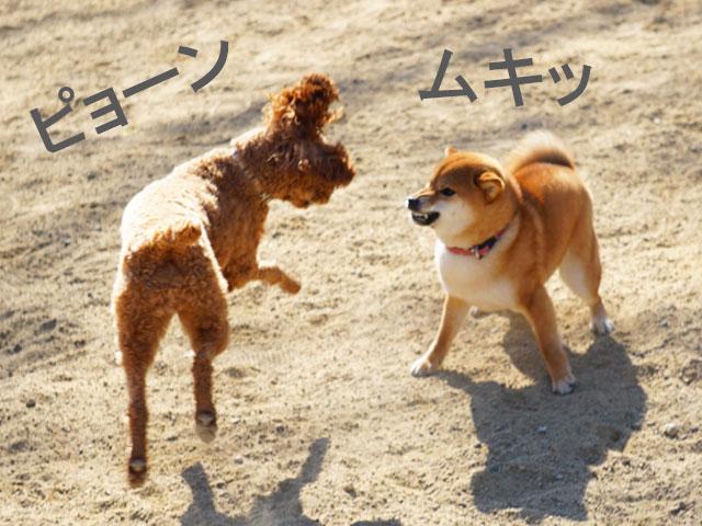 柴犬コマリ ドッグラン