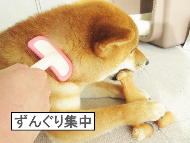 柴犬コマリ ブラッシング
