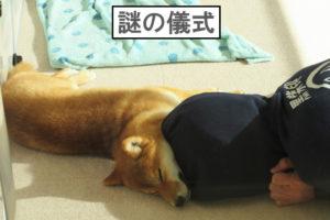 柴犬コマリ 謎の儀式