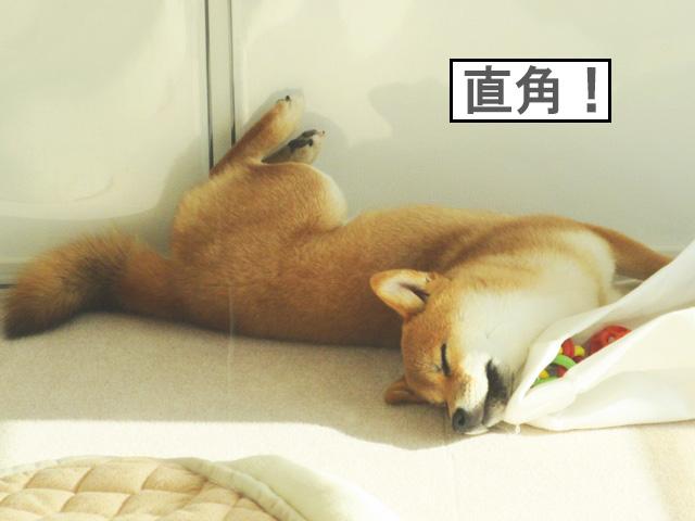 柴犬コマリ 寝姿