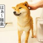 柴犬コマリ ドライヤー