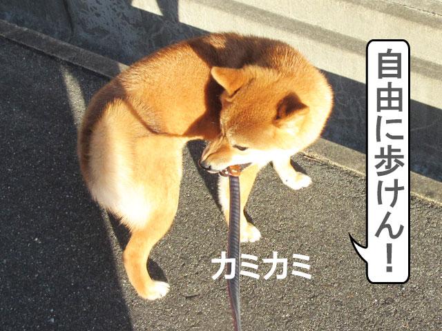 柴犬コマリ リード
