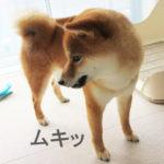 柴犬コマリ ムキッ歯