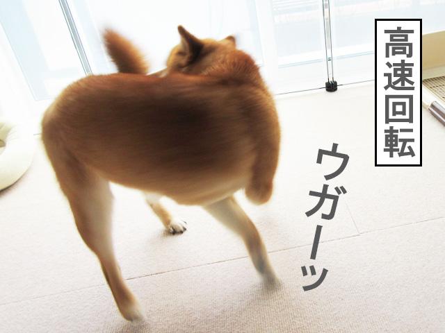 柴犬コマリ 尻尾を追い掛ける