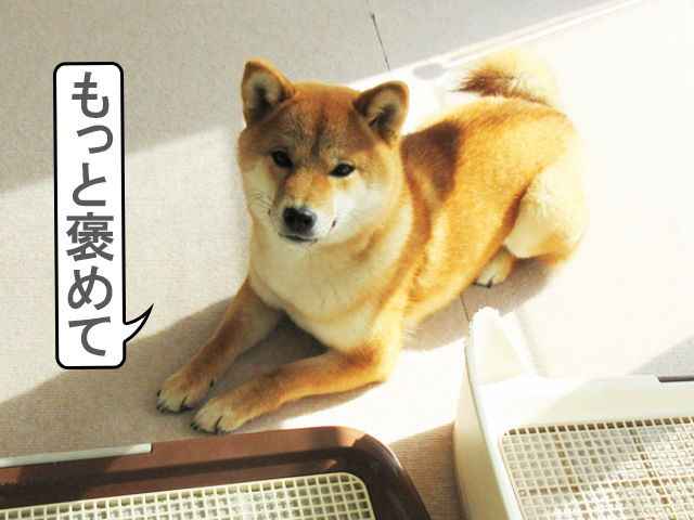 柴犬コマリ ごはん待ち