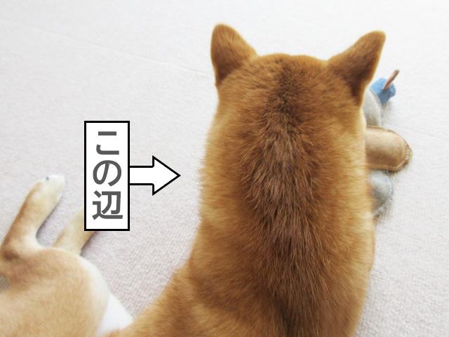 柴犬コマリ ずんぐり