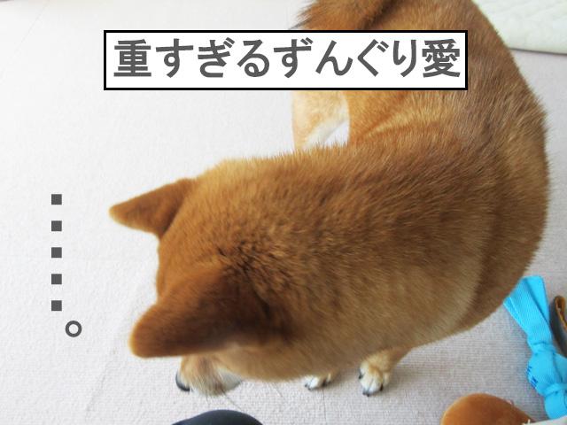 柴犬コマリ ずんぐり頭