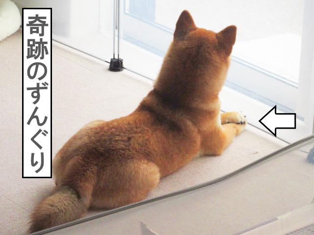 柴犬コマリ キュン死
