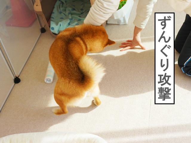 柴犬コマリ コロコロ