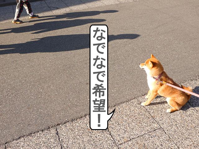 柴犬コマリ 有松