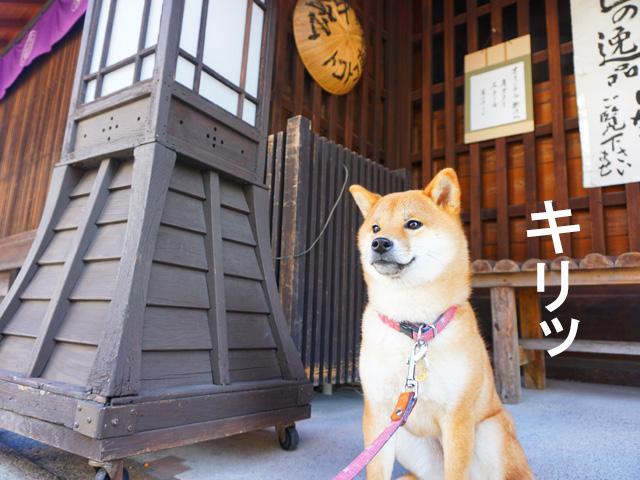柴犬コマリ 有松 中濱商店
