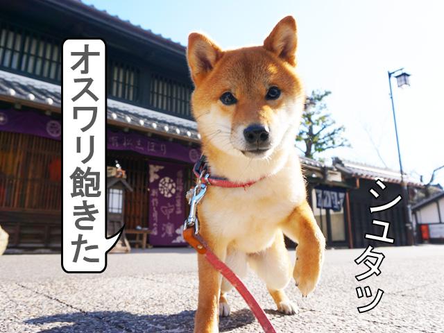柴犬コマリ 有松絞り 中濱商店