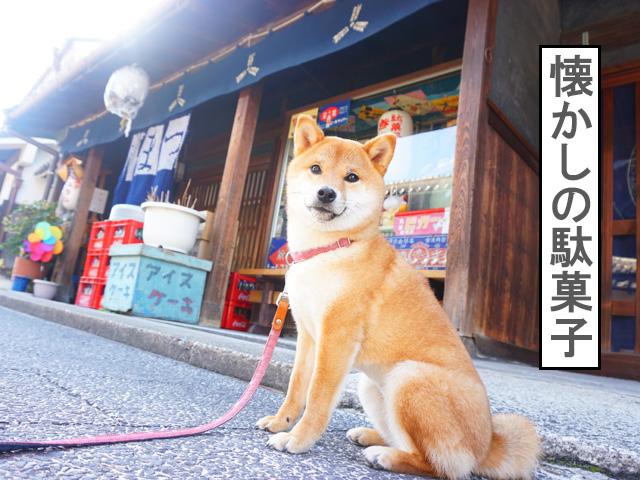 柴犬コマリ 有松 駄菓子きょうか