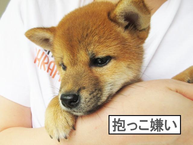柴犬コマリ 子犬 抱っこ