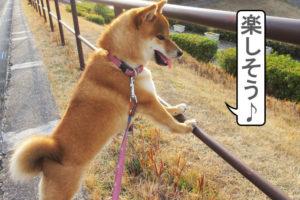 柴犬コマリ 夕方散歩