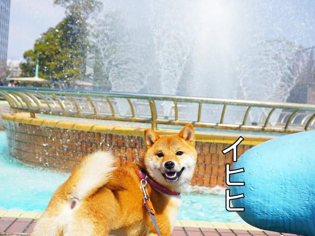 柴犬コマリ 噴水