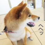 柴犬コマリ 動物病院