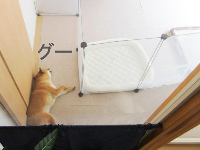 柴犬コマリ 犬用フェンス