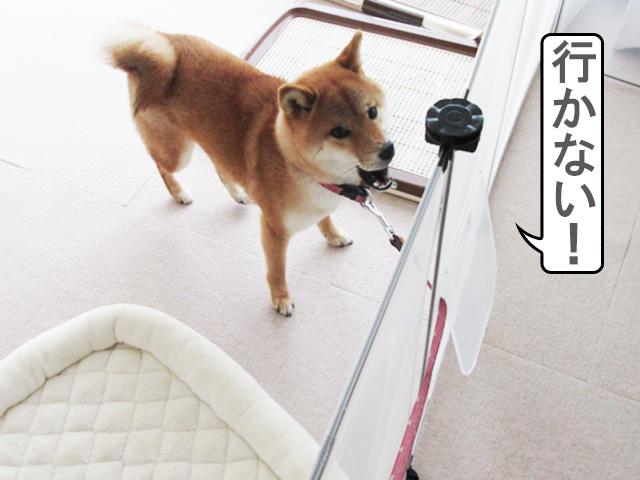 柴犬コマリ 散歩拒否