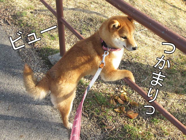 柴犬コマリ 風