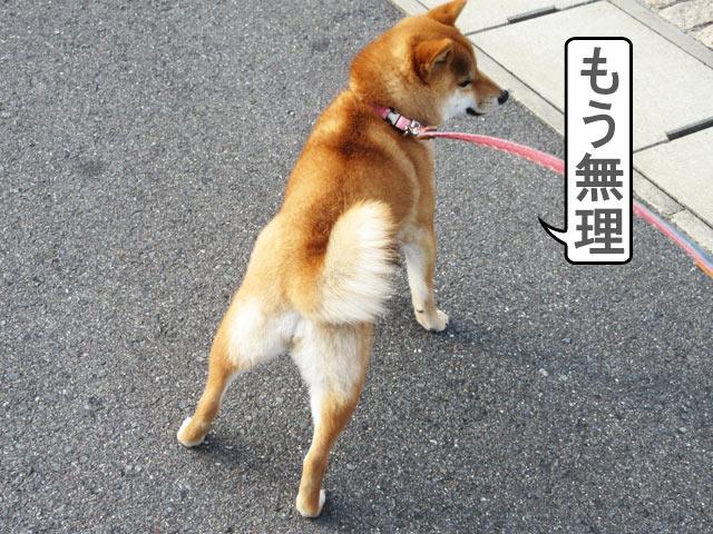柴犬コマリ 強風