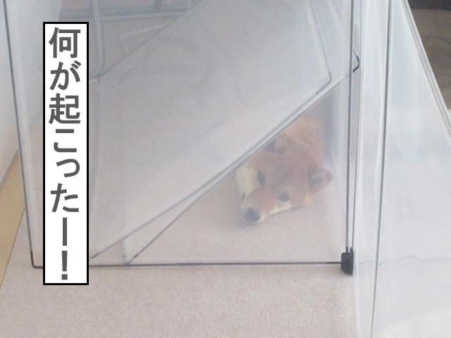 柴犬コマリ 全力のボケ