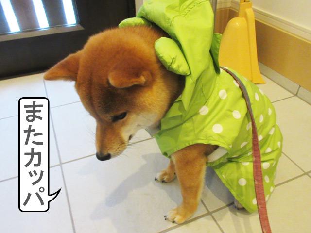 柴犬コマリ 雨散歩