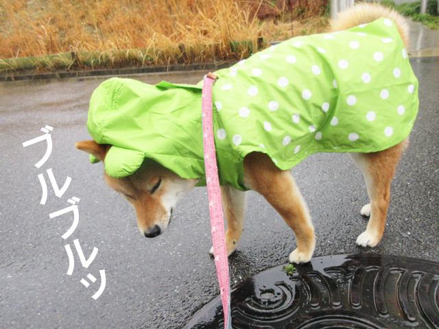 柴犬コマリ 雨の日散歩