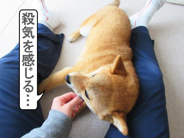 柴犬コマリ アキレス